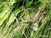Common Lizard or Viviparous Lizard (Zootoca vivipara)