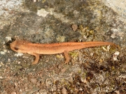 possibly Palmate Newt (Lissotriton helveticus) - juvenile