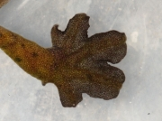 Palmate Newt (Lissotriton helveticus) - male foot