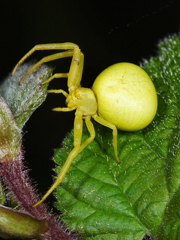 British Spiders | Wildlife Insight