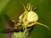 Crab Spider (Misumena vatia) eating Yellow Dung Fly (Scathophaga stercoraria)