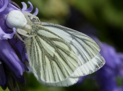 Crab Spider (Misumena vatia) eating Green-veined White (Pieris napi) butterfly