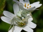 Crab Spider (Misumena vatia)