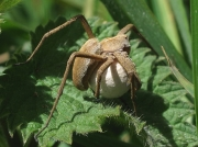 Nursery Web Spider (Pisaura mirabilis) - female with egg cocoon