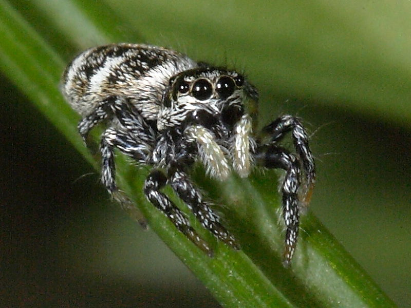 Common British Jumping Spiders Zebra Spider Wildlife Insight