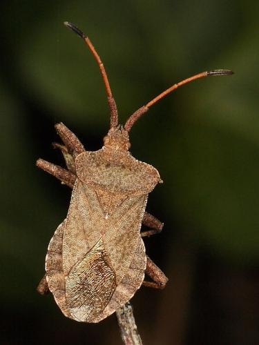 Dock Bug (Coreus marginatus) - adult