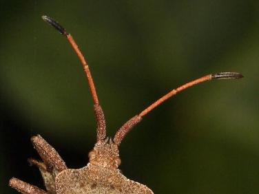 Dock Bug (Coreus marginatus) - antennae