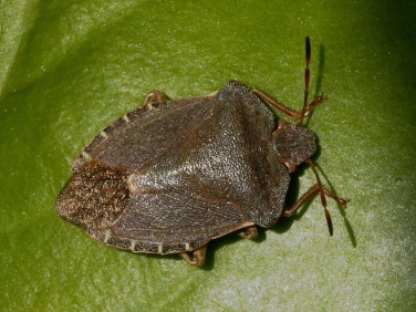 Green Shieldbug (Palomena prasina) - red brown adult