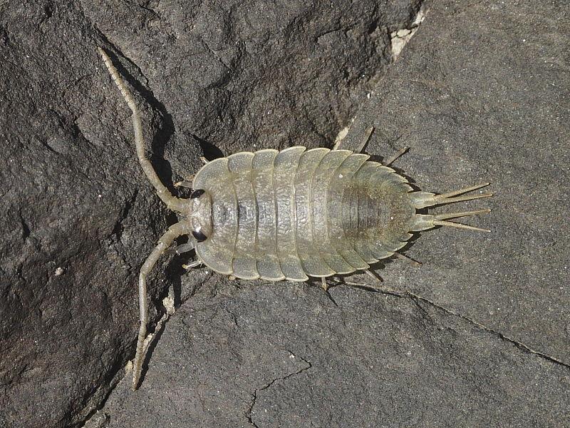 Sea Slater (Ligia oceanica)