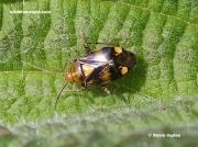 Liocoris-tripustulatus-a-small-yellow-and-brown bug
