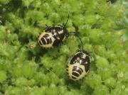 Brassica Bug - nymph
