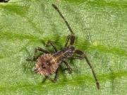 Dock Bug (Coreus marginatus) - first instar