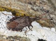 Boat Bug (Enoplops scapha) - adult