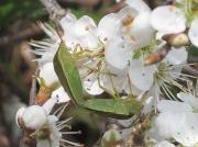 Gorse Shieldbug (Piezodorus lituratus) - mating