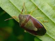 Gorse Shieldbug (Piezodorus lituratus) - late summer adult