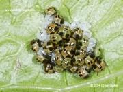 Green Shieldbug (Palomena prasina) nymphs