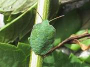 Green Shieldbug (Palomena prasina) - final instar nymph