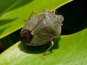 Green Shieldbug (Palomena prasina) - adult