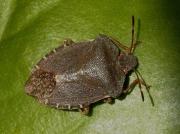 Green Shieldbug (Palomena prasina) - red brown adult