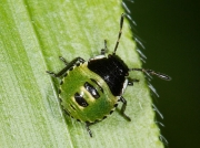 Green Shieldbug (Palomena prasina) - 2nd instar nymph
