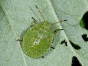 Green Shieldbug (Palomena prasina) - 4th instar nymph