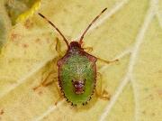 Hawthorn Shieldbug (Acanthosoma haemorrhoidale) - final instar nymph