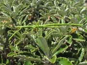 Unarmed Stick-insect (Acanthoxyla inermis) - green form