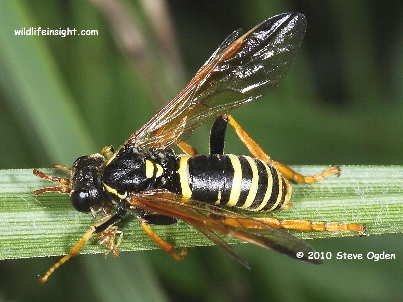 Figwort sawfly © 2010 Steve Ogden