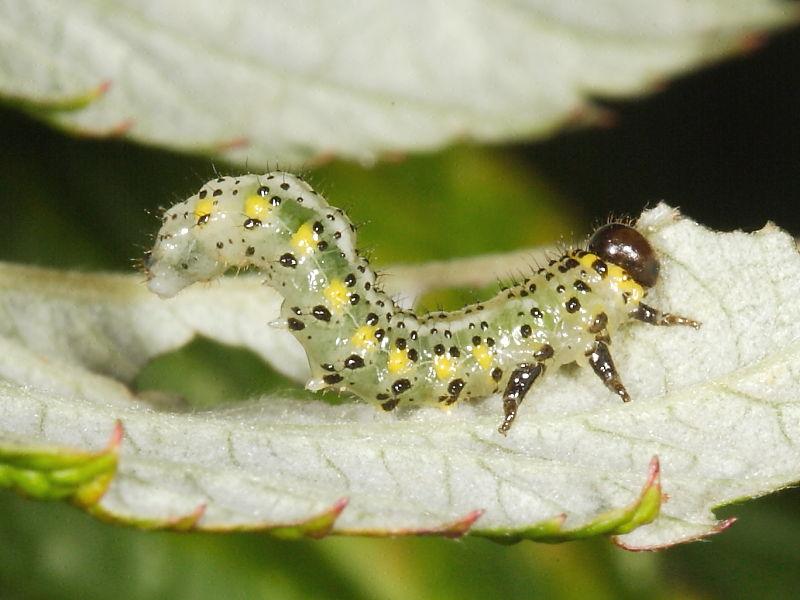 British Sawfly Larvae Galleries