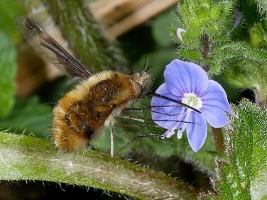 Dark-edged Bee Fly (Bombylius major) hovering to feed at flower of germander speedwell © 2010 Steve Ogden