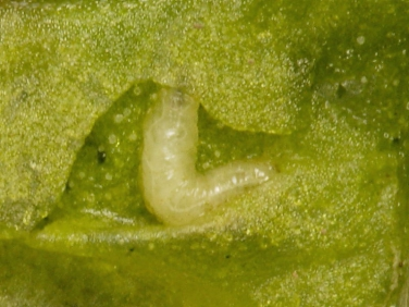 Spinach leaf mining fly  larva feeding inside leaf
