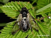 Birch sawfly (Cimbex femoratus) © 2006 Steve Ogden