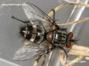 Parasitic fly Exorista larvarum © 2014 steve ogden