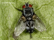 Tachinid fly, unconfirmed Sturmia bella, a parasitoid of Small Tortoiseshell Butterfly larvae © 2013 Steve Ogden