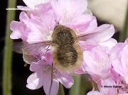 Western-Bee-fly-2878