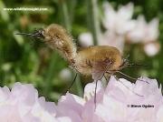 Western-Bee-fly-2881