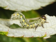 Sawfly caterpillar (arge gracilicornis)) on raspberry leaf