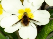 The Dark-edged bee fly (Bombylius major) feeding at primrose flower Marsland Reserve Devon UK © 2010 Steve Ogden