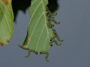 Craesus septentrionalis - larva