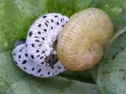 Fresh instar Figwort sawfly caterpillar (Tenthredo scrophulariae)