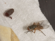 Spinach leaf mining fly and pupa