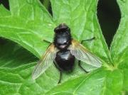 Noon Fly (Mesembrina meridiana)