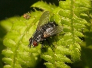 Parasitic tachinid fly seen on Small Tortoiseshell caterpillar web