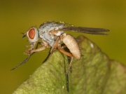 Spinach leaf mining fly Pegomy hyoscami