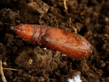 pupa parasitised by wasp