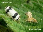 Ichneumon wasp pupa 3546