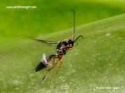 Parasitic wasp of Small Tortoiseshell 1032
