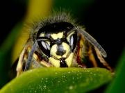 Common Wasp (Vespula vulgaris) - face detail