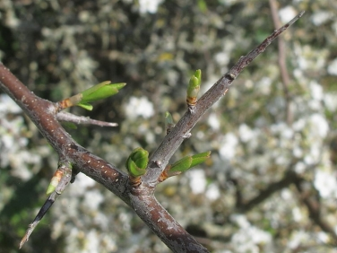 Blackthorn (Prunus spinosa) - twig