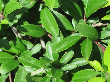 Blackthorn (Prunus spinosa) - leaf